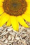 осеменяет солнцецвет Стоковая Фотография RF