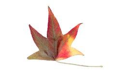 Осеннее изменение цвета в виде дерева клена Стоковое Изображение RF