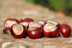 Осеннее собрание плода конского каштана от леса Стоковые Фотографии RF
