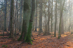 Осеннее туманное утро в лесе Стоковое Изображение RF
