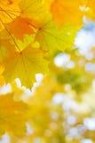 Осенние золотые кленовые листы в запачканной предпосылке Стоковые Фотографии RF