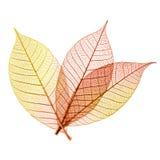 Осенние листья изолированные на белой предпосылке Стоковое Изображение