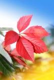 осенние красивейшие листья Стоковое Изображение