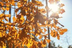 Осенние покрашенные листья дуба Стоковая Фотография