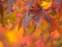Осенние покрашенные кленовые листы Стоковые Фотографии RF