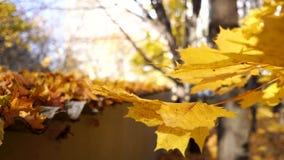 Осенний золотой конец листвы дерева клена цветов пошатывая вверх в свете дня сток-видео