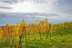 Осенний ландшафт виноградника в вене стоковое изображение rf