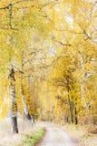 Осенний переулок березы Стоковая Фотография