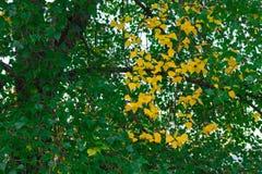 Осенняя ветвь дерева с листьями зеленого цвета и желтого цвета Стоковые Фотографии RF