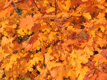 Осенняя листва клена стоковое фото