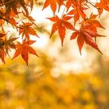 Осенняя предпосылка, немножко defocused красное marple выходит с w Стоковые Фотографии RF