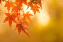 Осенняя предпосылка, немножко defocused красное marple выходит с w Стоковое Изображение RF