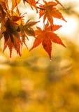 Осенняя предпосылка, немножко defocused красное marple выходит с w Стоковое фото RF