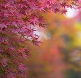 Осенняя предпосылка, немножко defocused красное marple выходит Стоковые Изображения