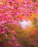 Осенняя предпосылка, немножко defocused красное marple выходит Стоковое фото RF