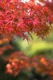 Осенняя предпосылка, немножко defocused красное marple выходит Стоковое Изображение RF