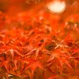 Осенняя предпосылка, немножко defocused красное marple выходит Стоковые Фото