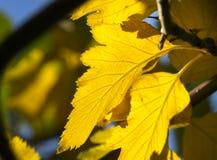 Осень выходит желтый цвет клена Стоковые Изображения