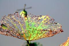 Осень, вянуть выпарка лист лотоса Стоковые Фотографии RF