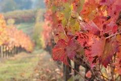 Осень в виноградниках Стоковое Фото