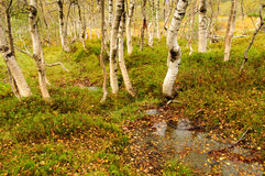 Осень в лесе березы стоковое фото