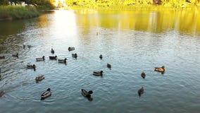 Осень в парке, пруде и утке сток-видео