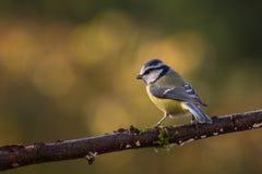 Осень голубой синицы Стоковая Фотография