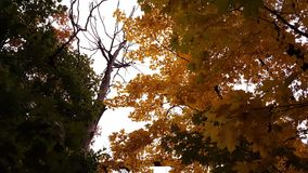 Осень Деревья Серии ветвей с желтыми листьями Стоковое Изображение RF