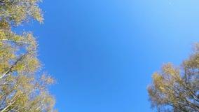 Осень Желтые вобуляци кленового листа против неба сток-видео