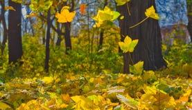 Осень, желтые листья клена Стоковое Изображение RF