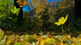Осень, желтые листья клена Стоковые Изображения