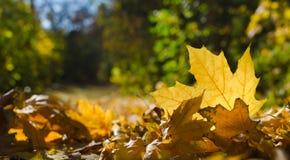 Осень, желтые листья клена Стоковая Фотография RF