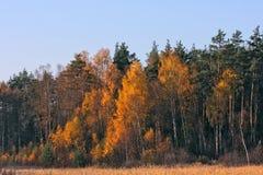 осень золотистая Стоковое Изображение