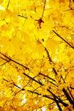 осень золотистая Стоковая Фотография RF