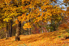 Осень золота в парке Стоковое Изображение