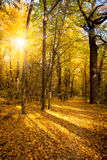 Осень золота с солнечным светом и солнечными лучами - красивыми деревьями в стоковое изображение