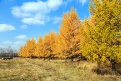 осень золотистая Стоковые Изображения