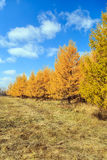 осень золотистая Стоковые Изображения RF