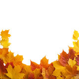 Осень золотой изолированный клен листьев Стоковое Изображение