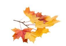 Осень золотой изолированный клен листьев Стоковые Фото