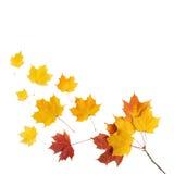 Осень золотой изолированный клен листьев Стоковая Фотография