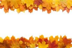 Осень золотой изолированный клен листьев Стоковое фото RF