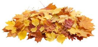 Осень золотой изолированный клен листьев Стоковое Фото