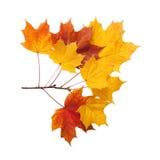 Осень золотой изолированный клен листьев Стоковое Изображение RF