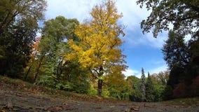 Осень и желтое дерево сток-видео