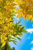 Осень и падение листьев Текстура предпосылки желтых листьев листья ярких цветов ветви осени освещенные контржурным светом предпос Стоковая Фотография