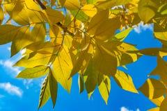 Осень и падение листьев Текстура предпосылки желтых листьев листья ярких цветов ветви осени освещенные контржурным светом предпос Стоковое фото RF