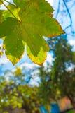 Осень и падение листьев Текстура предпосылки желтых листьев листья ярких цветов ветви осени освещенные контржурным светом предпос Стоковое Фото