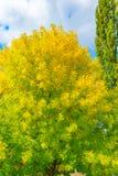 Осень и падение листьев Текстура предпосылки желтых листьев листья ярких цветов ветви осени освещенные контржурным светом предпос Стоковая Фотография RF
