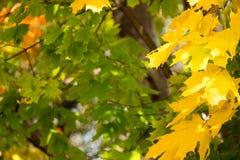 Осень, кленовые листы в парке города стоковая фотография rf